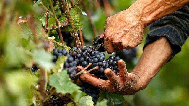 Українські науковці вивели нові сорти винограду для виробництва якісних вин