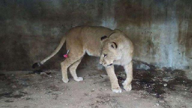 Трьох левиць із приватного зоопарку біля Самбора повезуть на реабілітацію до Африки