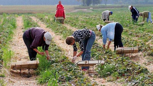 У Польщі заявили про брак працівників з України для збору врожаю полуниць