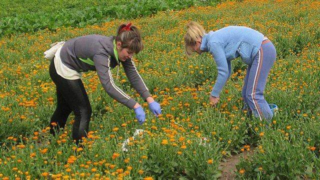 Вирощування лікарських рослин в Україні дає до ₴300 тис. доходу з гектара