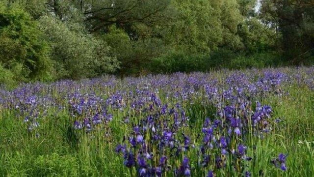 На Львівщині планують створити ботанічний заказник «Долина ірисів»
