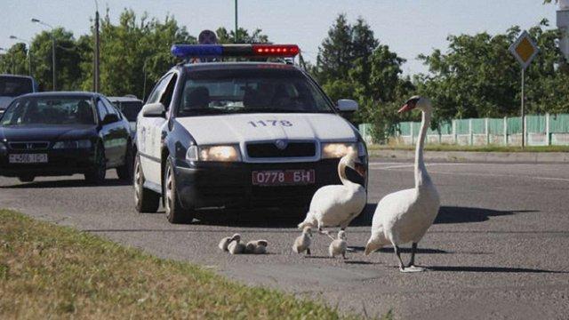 У Білорусі Державтоінспекція супроводила лебедину сім'ю до озера