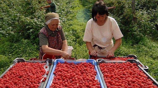 У Польщі та Сербії фермери обурені збільшенням імпорту української малини