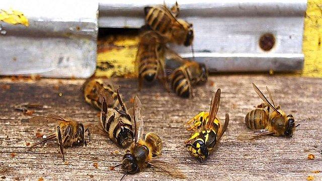 Держспоживслужба назвала причину масового мору бджіл в Україні