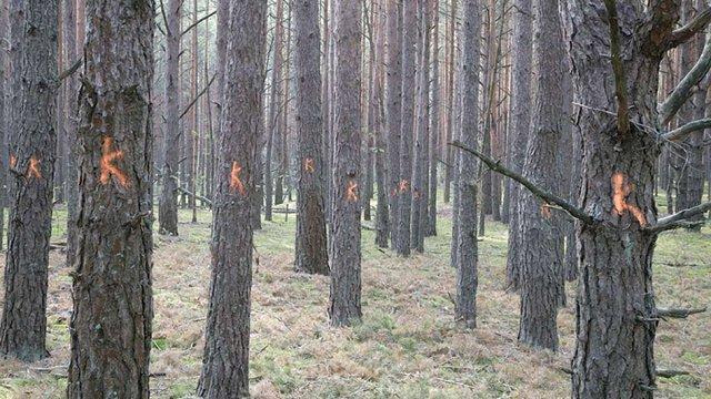 Через кліматичні зміни на Поліссі масово всихають хвойні ліси