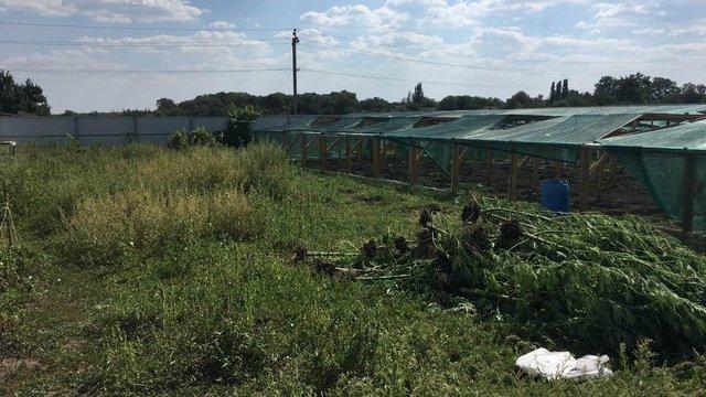 На Миколаївщині поліцейські знайшли плантацію конопель вартістю ₴12 млн