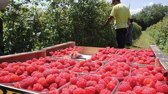 Польща відмовилась фінансувати створення малинників в Україні через протест своїх підприємців
