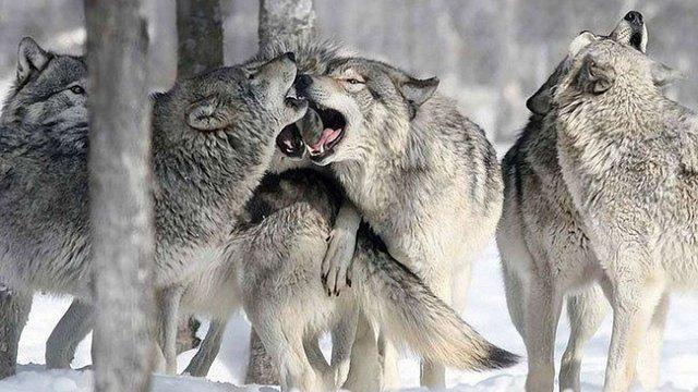 На Поліссі та в окупованому Криму стрімко збільшується популяція вовків