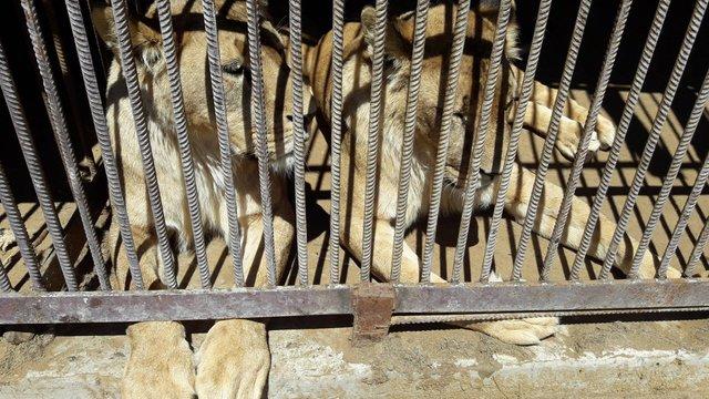 Волонтери збирають кошти на перевезення  до Африки левиць із зоопарку біля Самбора