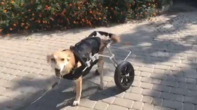 ЛКП «Лев» шукає волонтерів для реабілітації собаки з переломом таза