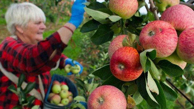 Індія відкрила свій внутрішній ринок для українських яблук
