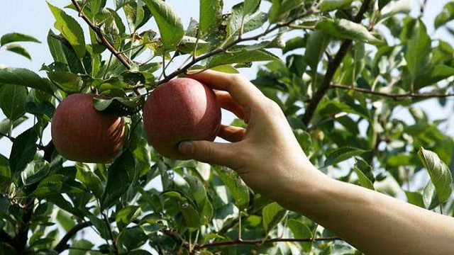 Українські садівники через збитковість залишають врожаї яблук у садах