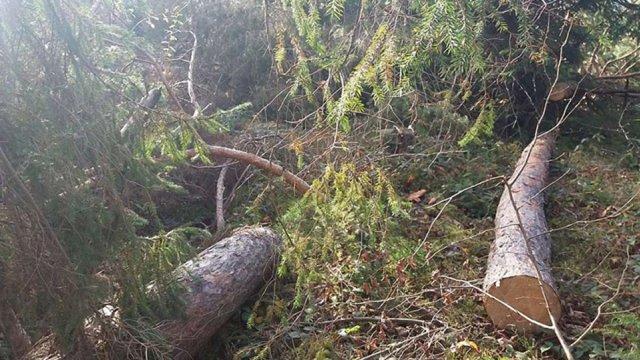 На Старосамбірщині виявили незаконну рубку дерев