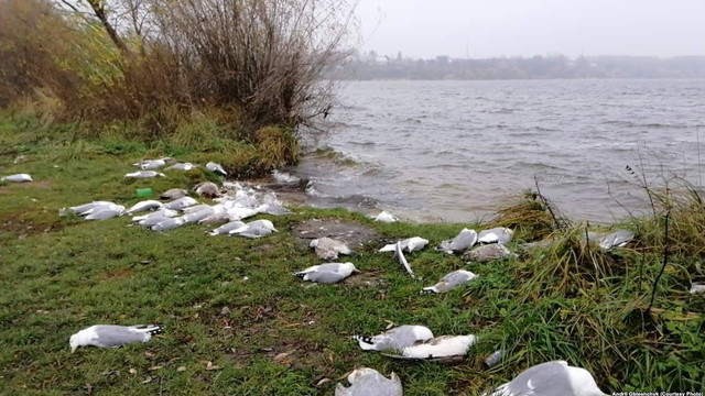 Біля Тернопільського озера зафіксували масову загибель птахів