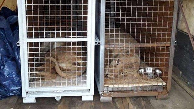 Трьох левиць із приватного зоопарку біля Самбора відправили літаком до Африки
