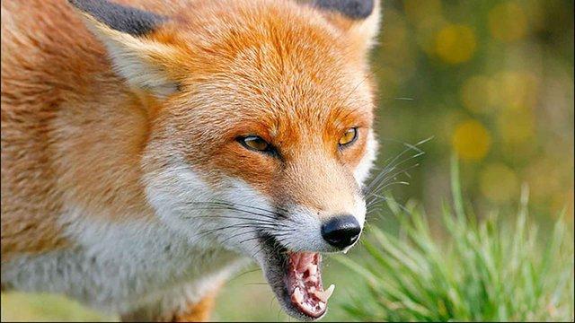 У листопаді на Львівщині зафіксовано чотири випадки сказу серед тварин