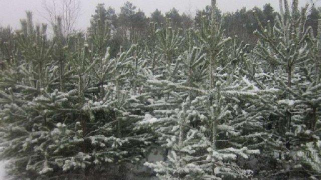 Цьогоріч лісгоспи Львівщини підготували на продаж понад 10 тисяч ялинок