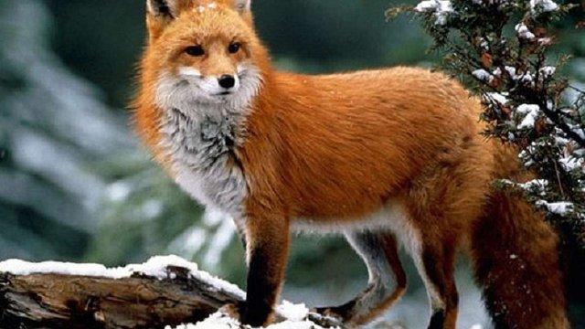 Сербія заборонила вбивати тварин для виробництва хутра