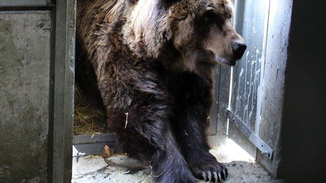 У притулок Домажир привезли ведмедицю Ласку