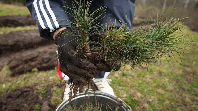 У суботу на Львівщині активісти посадять 100 тис. дерев та встановлять рекорд України