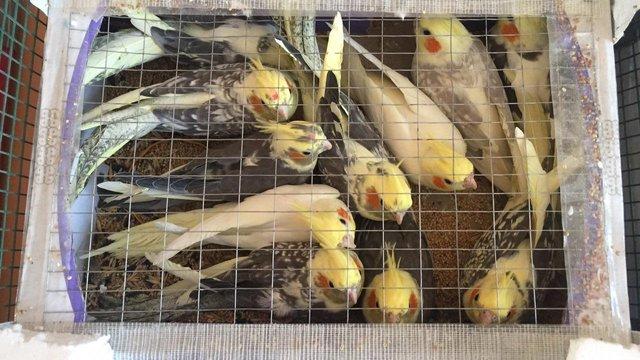 Прикордонники затримали українця, який хотів пронести в Білорусь 150 папуг