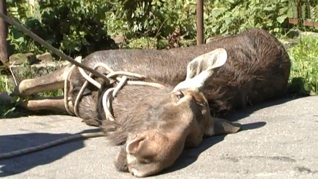 У Львові на приватне подвір'я забіг поранений лось