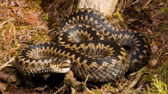 39-річний мешканець Сколівщини потрапив до лікарні через укус змії