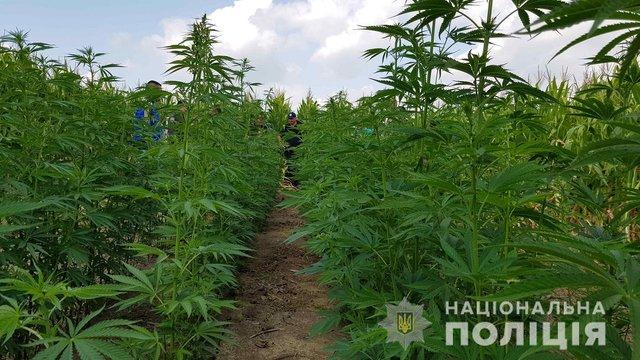У Чернівецькій області поліція виявила плантацію конопель посеред кукурудзяного поля