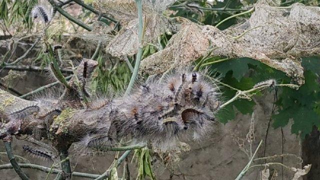 На Волині вперше виявили шкідливу гусінь американського білого метелика