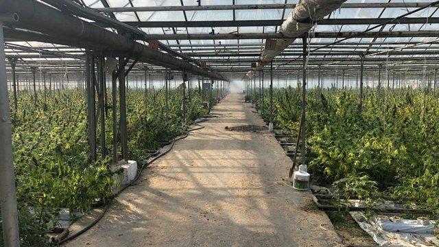 СБУ викрила на Прикарпатті плантації конопель на 50 млн євро
