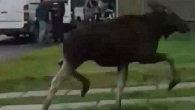 Переляканий лось впав з підпірної стінки у Сокалі і поранився