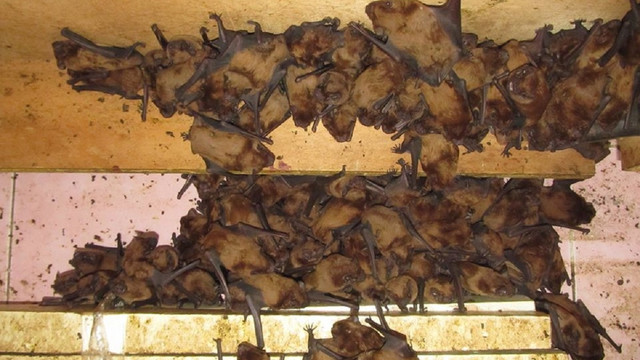 На балконі львівської квартири виявили рекордну кількість кажанів