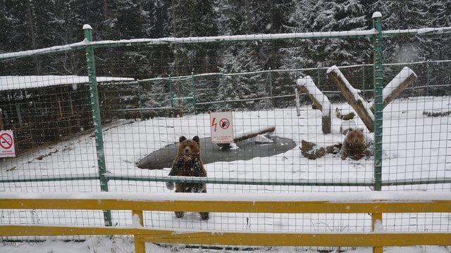 Через теплу погоду в парку «Синевир» ведмеді не можуть впасти в зимову сплячку
