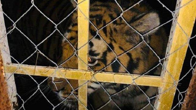 У Києві знайшли шістьох покинутих тигрів