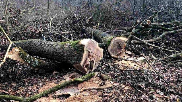 Невідомі зрубали у лісі на Львівщині понад сотню 100-літніх дубів