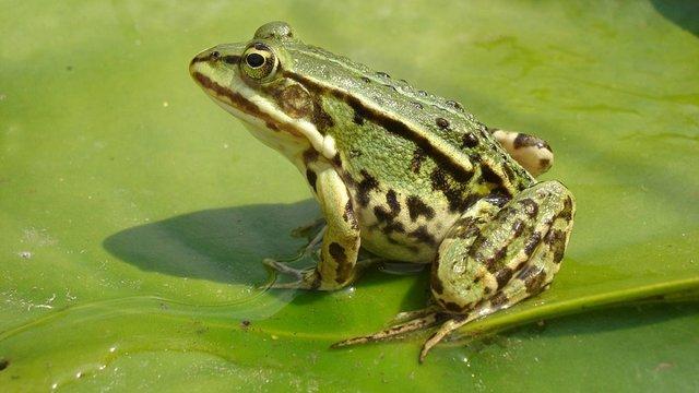 Львівські ресторатори відкрили власну жаб'ячу ферму біля Буська
