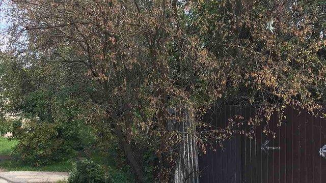 У дворі багатоповерхівки на Левандівці одночасно всохли 25 дерев